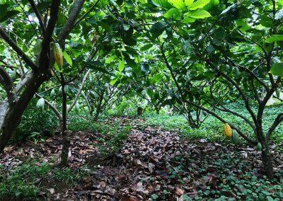 betulia-tree-planting