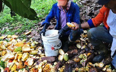 Autumn 2017: Impressions from our Criollo Harvest Time.