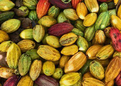 teaser-criollo-cacao-pods-harvest